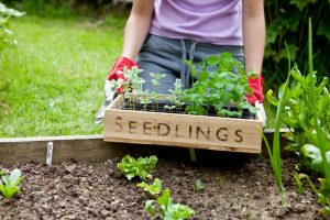 Gardener holding wooden seedling tray in vegetable garden, with plants for cutting garden and vegetable patch (zinnia and pea).